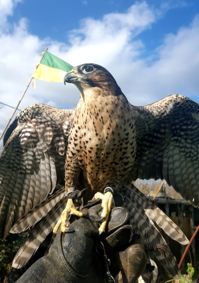 Live a Falconry experience in Tuscany